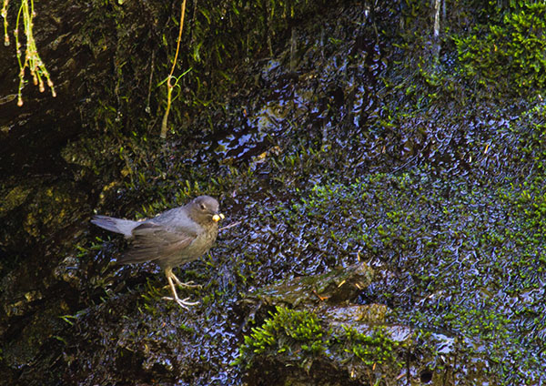 American Dipper heading to nest