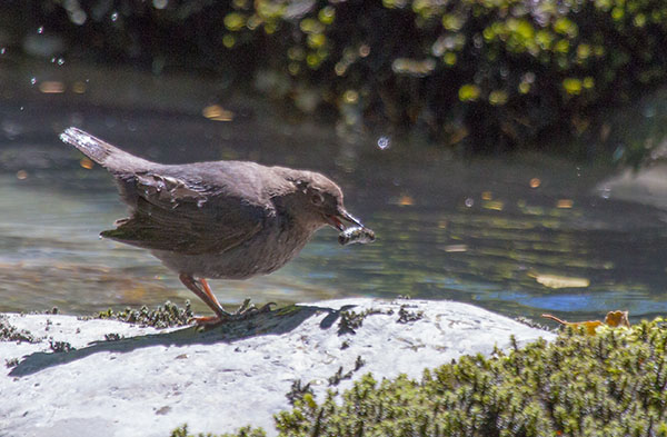 American Dipper with large morsel
